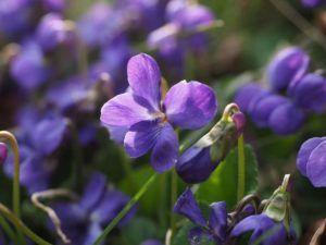 Historia y origen de la violeta