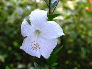 Historia y origen del hibisco