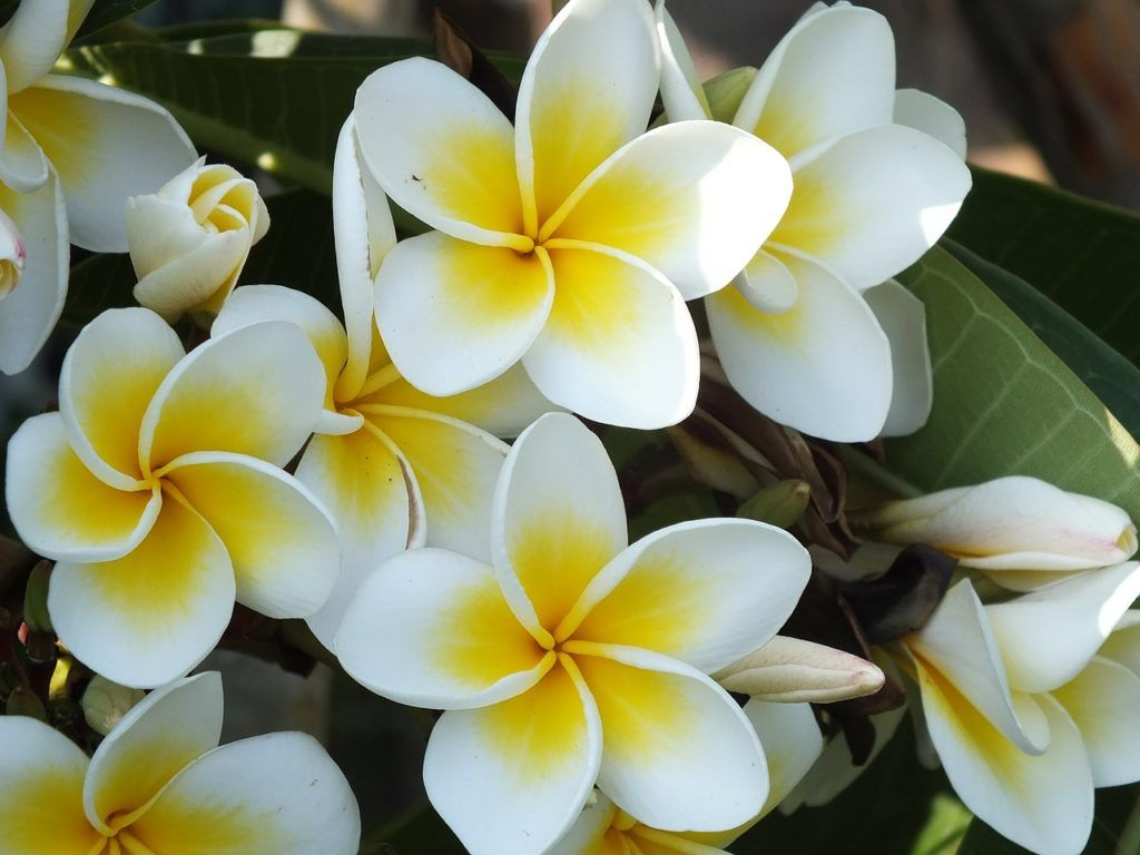 Flores aromáticas Jazmín