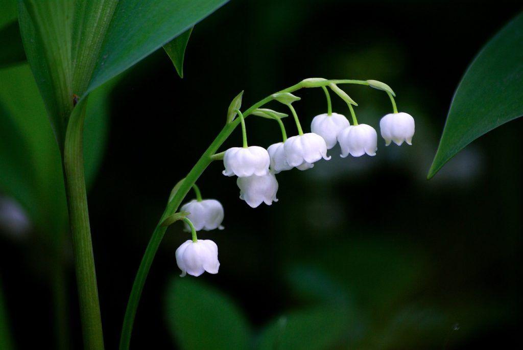 Flores aromáticas Lirio de los valles