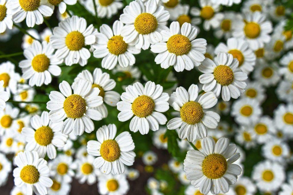 Flores aromáticas Manzanilla