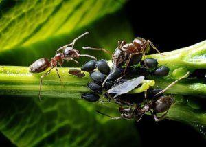 Plagas y enfermedades que atacan a la flor de nochebuena - Pulgones