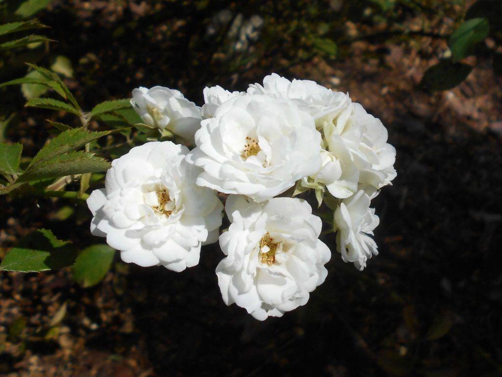 Rosas antiguas Alba