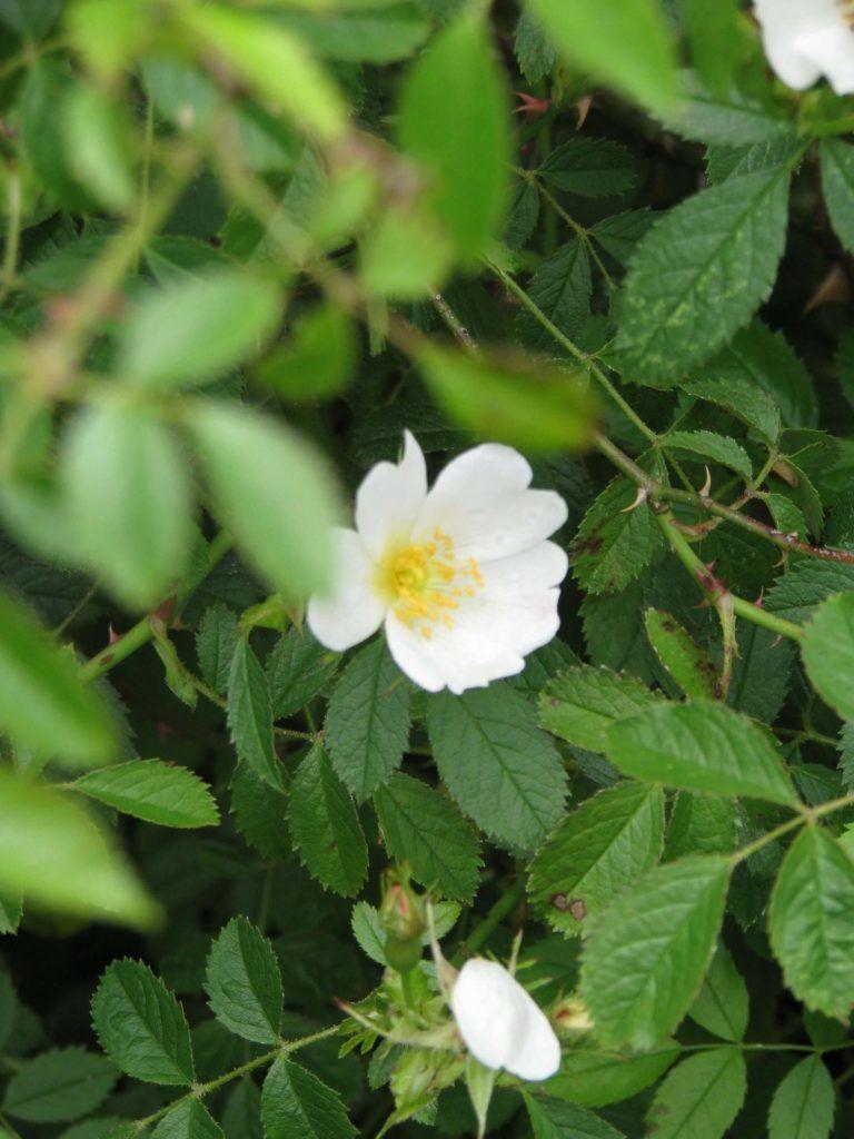 Rosas antiguas Sempervirens