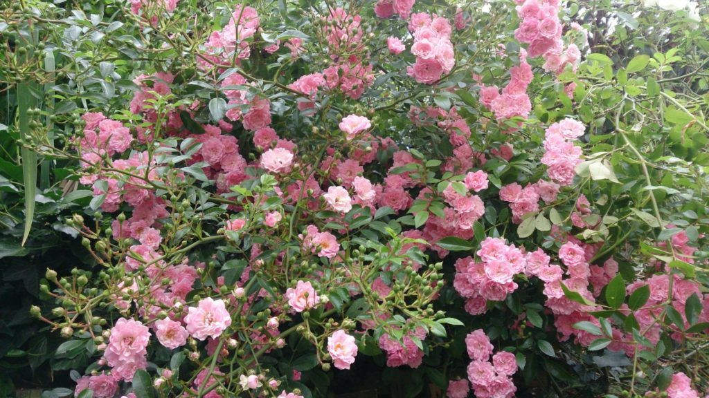 Rosas modernas Arbustivas