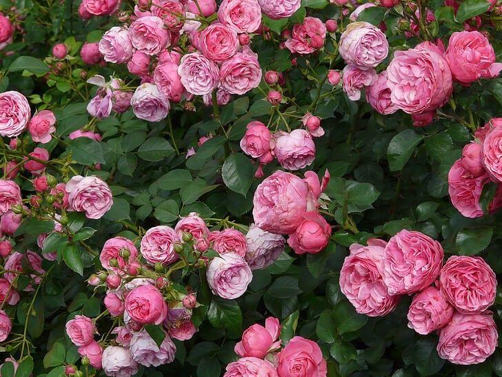 Rosas modernas Floribunda