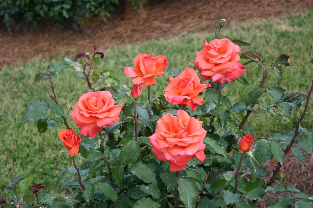 Rosas modernas Grandiflora