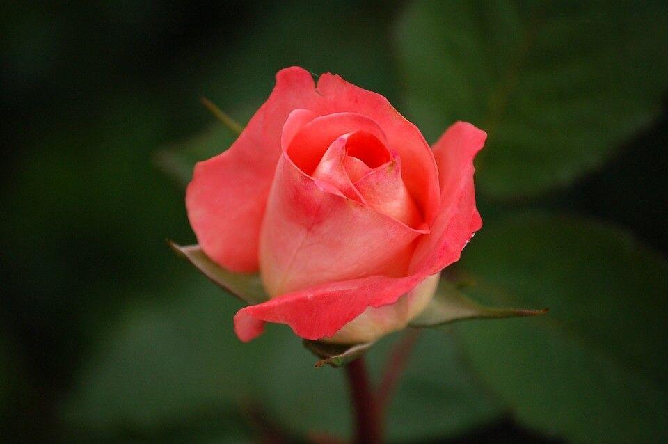 Rosas modernas Híbridos de Té