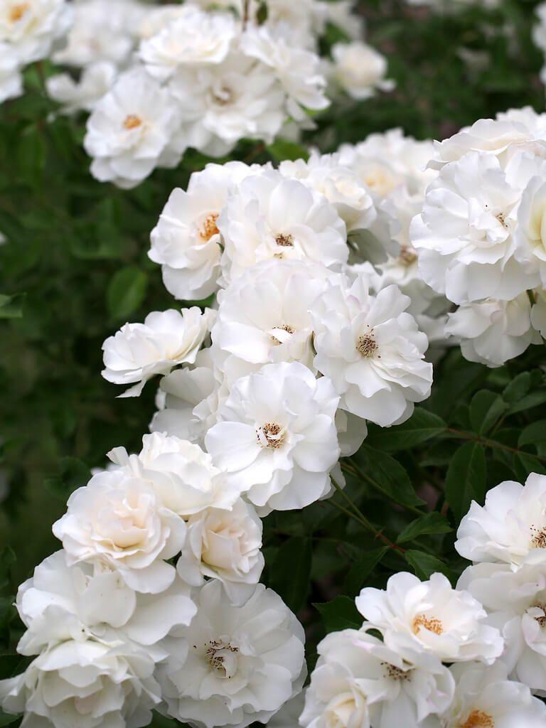 Rosas modernas Polyantha