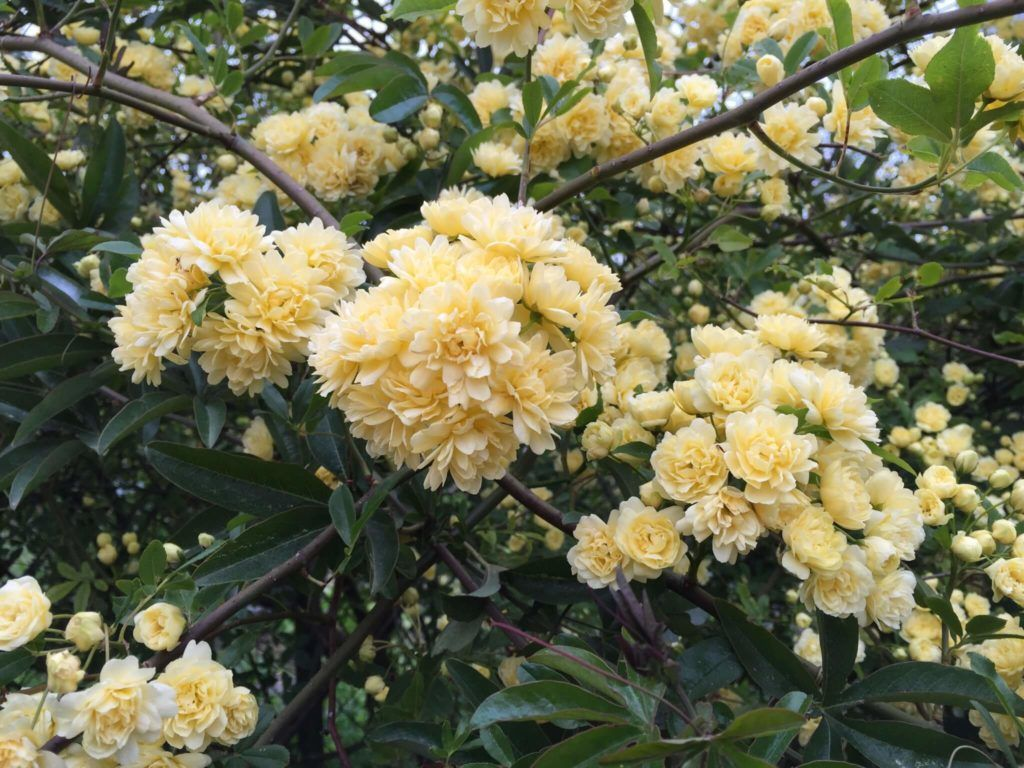 Rosas silvestres Banksiae
