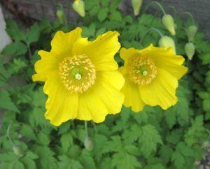 Significado de la amapola amarilla