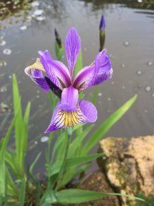 Significado del Iris