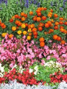cómo cuidar y regar las begonias en tu jardín