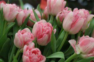 cómo regar tulipanes
