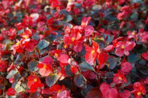 cuidado de las begonias