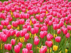 cuidados y poda del tulipan