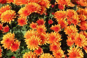 cuidados y riego de los crisantemos