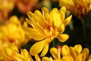 cuidados y riego del crisantemo