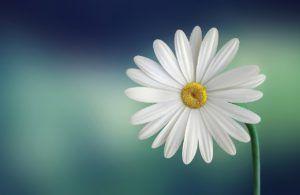 flores blancas tipos y formas