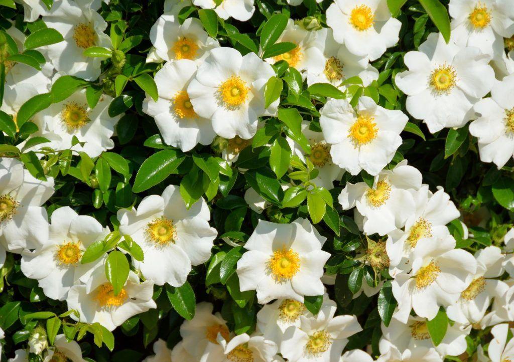 flores aromáticas gardenias
