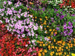 historia y características de las begonias
