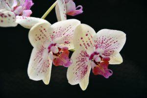 cómo cuidar y regar la orquídea