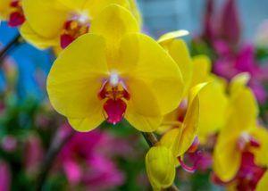 significado de las orquídeas