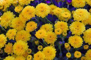 sembrar crisantemos paso a paso