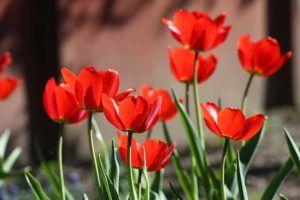 tulipanes y sus cuidados