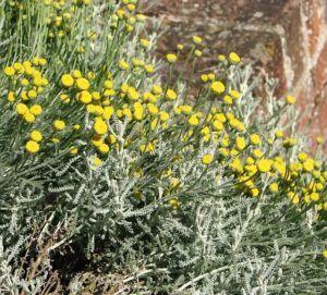 Abrótano hembra o Santolina chamaecyparissus