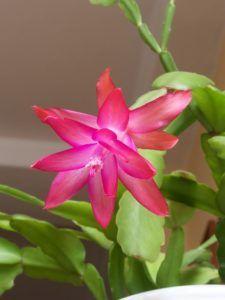 Características de los cactus de Navidad