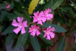 En qué estación es mejor cultivar adelfas