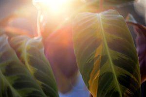 Cuál es la mejor estación para cultivar calateas