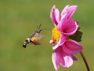 El colibrí: otro polinizador de las flores