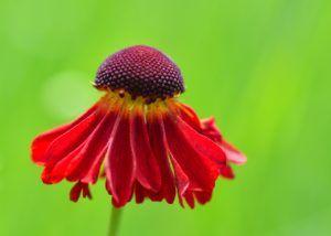 Flores según la forma de la corola