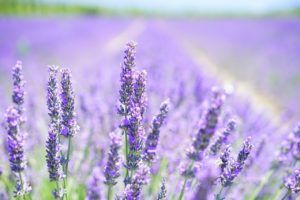 ¿Por qué las flores suelen oler bien?