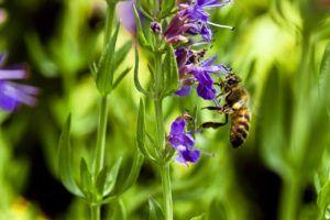 Cuidados de las flores aromáticas