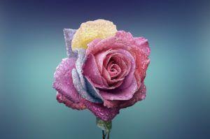 ¿Qué son los pétalos de una flor?