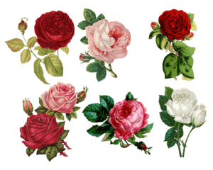 Cuidados de las Flores Rojas