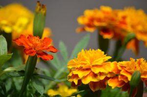 Características de las flores anuales