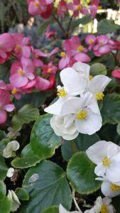 Características de las flores bianuales