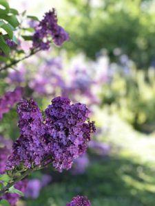 Características de las lilas