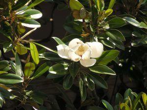 Características de las magnolias
