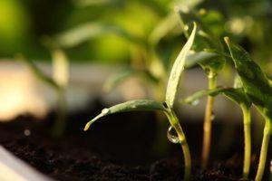 Cuál es la función de la germinación