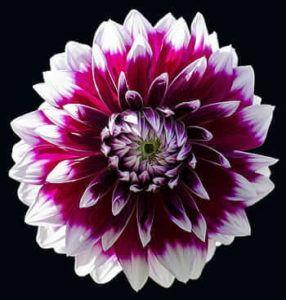 Cuidados de las flores bianuales