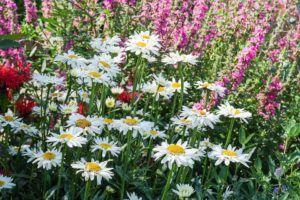 Cuidados de las flores perennes