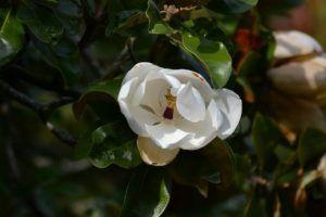 Cuidados necesarios de la magnolia