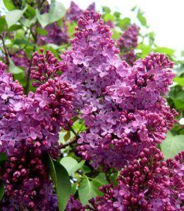 Cuidados necesarios de las lilas