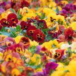 El Color de las Flores: [Causa, Influencia sobre las Abejas, Importancia y Significados]