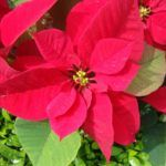 Flor de Nochebuena: [Cultivo, Cuidados, Plagas y Enfermedades]